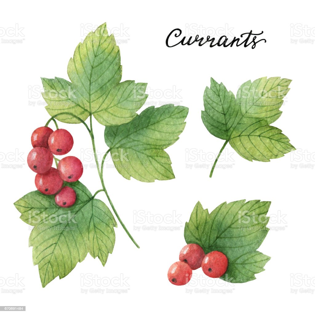 Hand drawn watercolor botanical illustration of Currants. vector art illustration