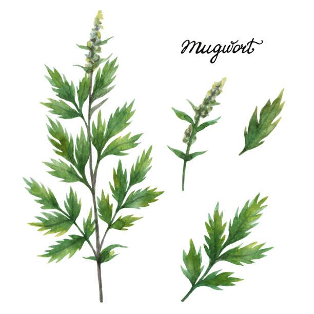 Best Artemisia Vulgaris Illustrations Royalty Free Vector