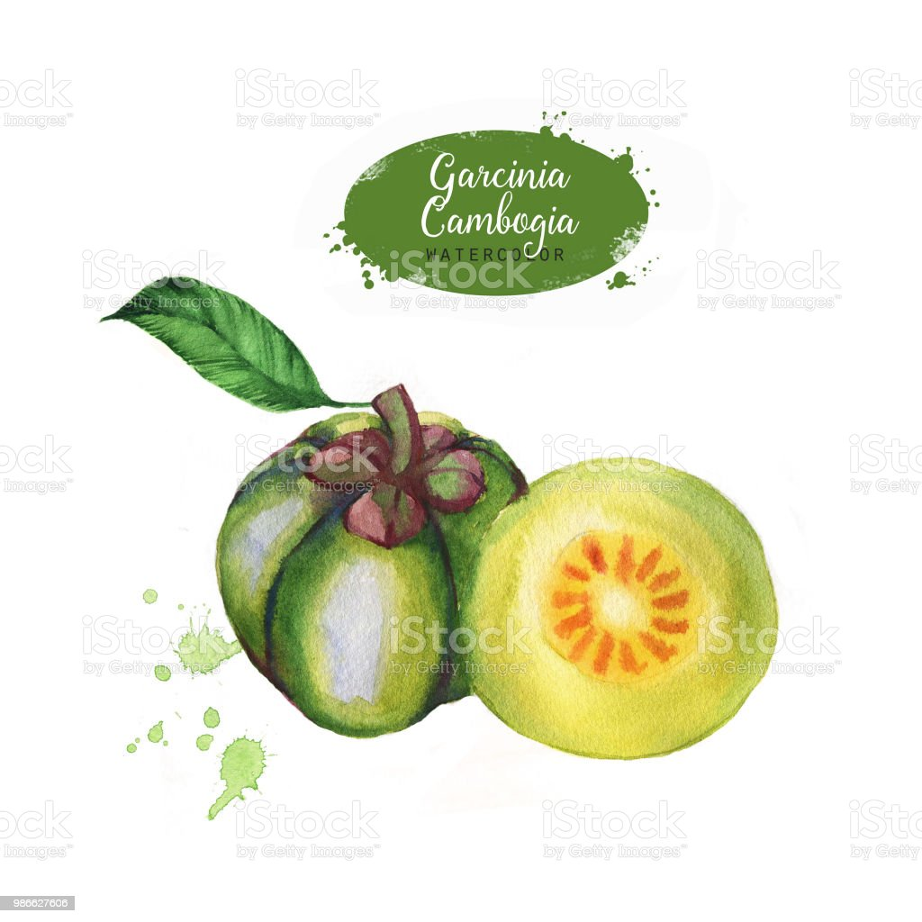 Hand Drawn Watercolor Garcinia Cambogia Fresh Fruit Isolated On