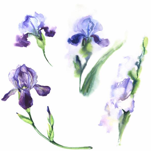 Hand drawn watercolor illustration. Set irises. Watercolor illustration. Set of purple irises on a white background. iris plant stock illustrations