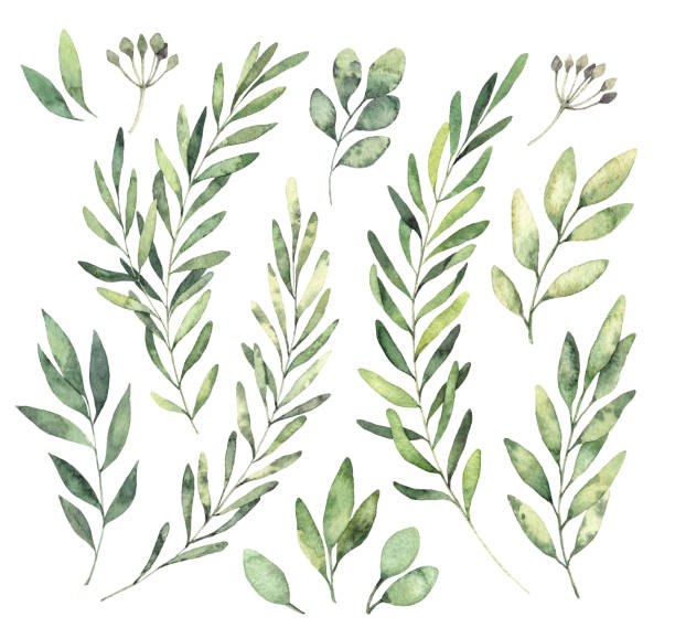 hand drawn watercolor illustrations. botanical clipart. set of green leaves, herbs and branches. floral design elements. perfect for wedding invitations, greeting cards, blogs, posters and more - лекарственная трава stock illustrations