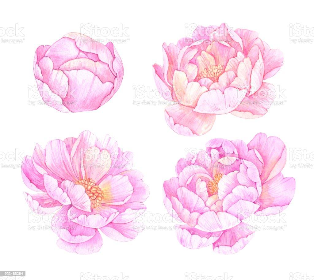 Handgezeichnete Aquarelle Illustrationen. Rosa Pfingstrose Blumen.  Speichern Sie Das Datum. Ideal Für Hochzeits