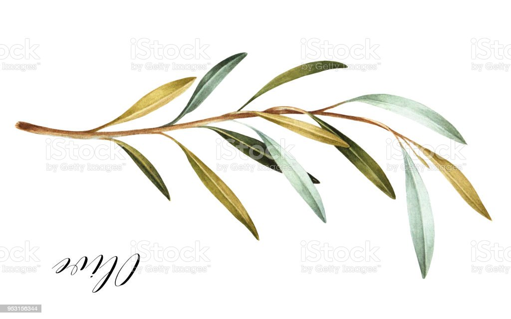 Hand drawn watercolor olive branch. vector art illustration