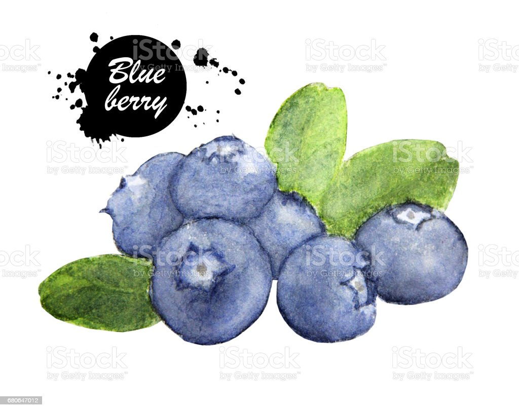 Hand drawn watercolor painting blueberry on white background. vector art illustration