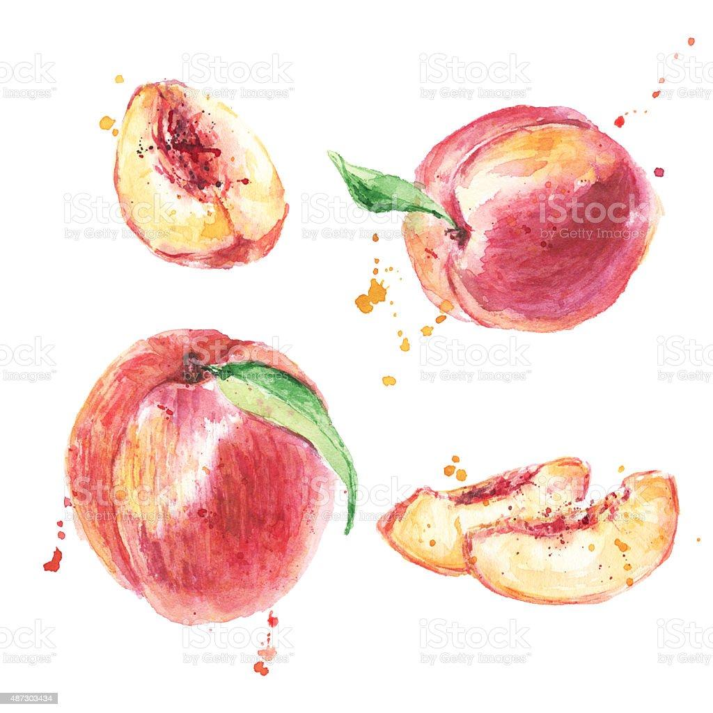 Hand drawn watercolor peach fruit. Ripe peach, peach slices, set vector art illustration