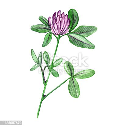 Hand drawn watercolor red clover flower branch illustration isolated on white background.Aquarelle wildflower for  texture, wrapper pattern, frame or border