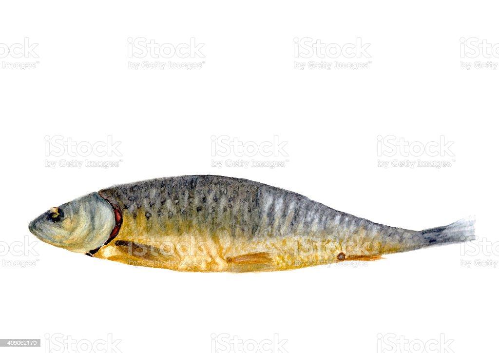 Hand drawn watercolor smoked fish vector art illustration
