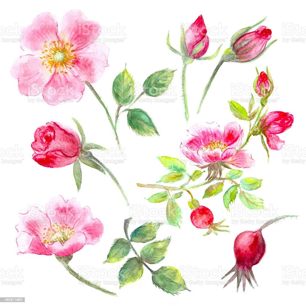 Hand drawn watercolor wild rose flower, bud, leaves set vector art illustration