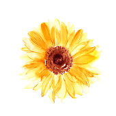 Hand drawn watercolor sunflower in yellow color. Flower background pattern for wedding card, party invitation.
