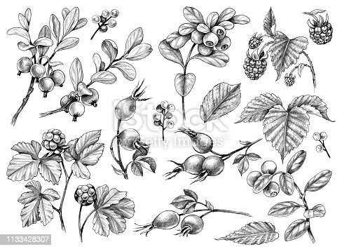 Hand drawn forest berries and floral elements. Wild berry set pencil drawing.  Monochrome sketch of raspberry, cloudberry, briar rose, cowberry, blueberry isolated on white background.