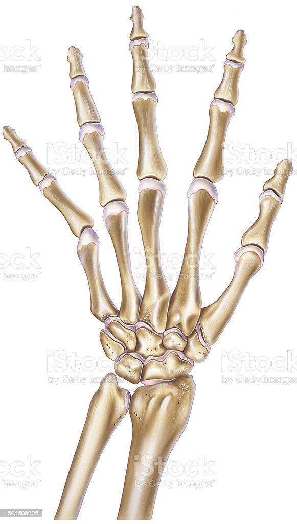 Ilustración de Mano Mostrando Los Huesos Y En Las Articulaciones ...