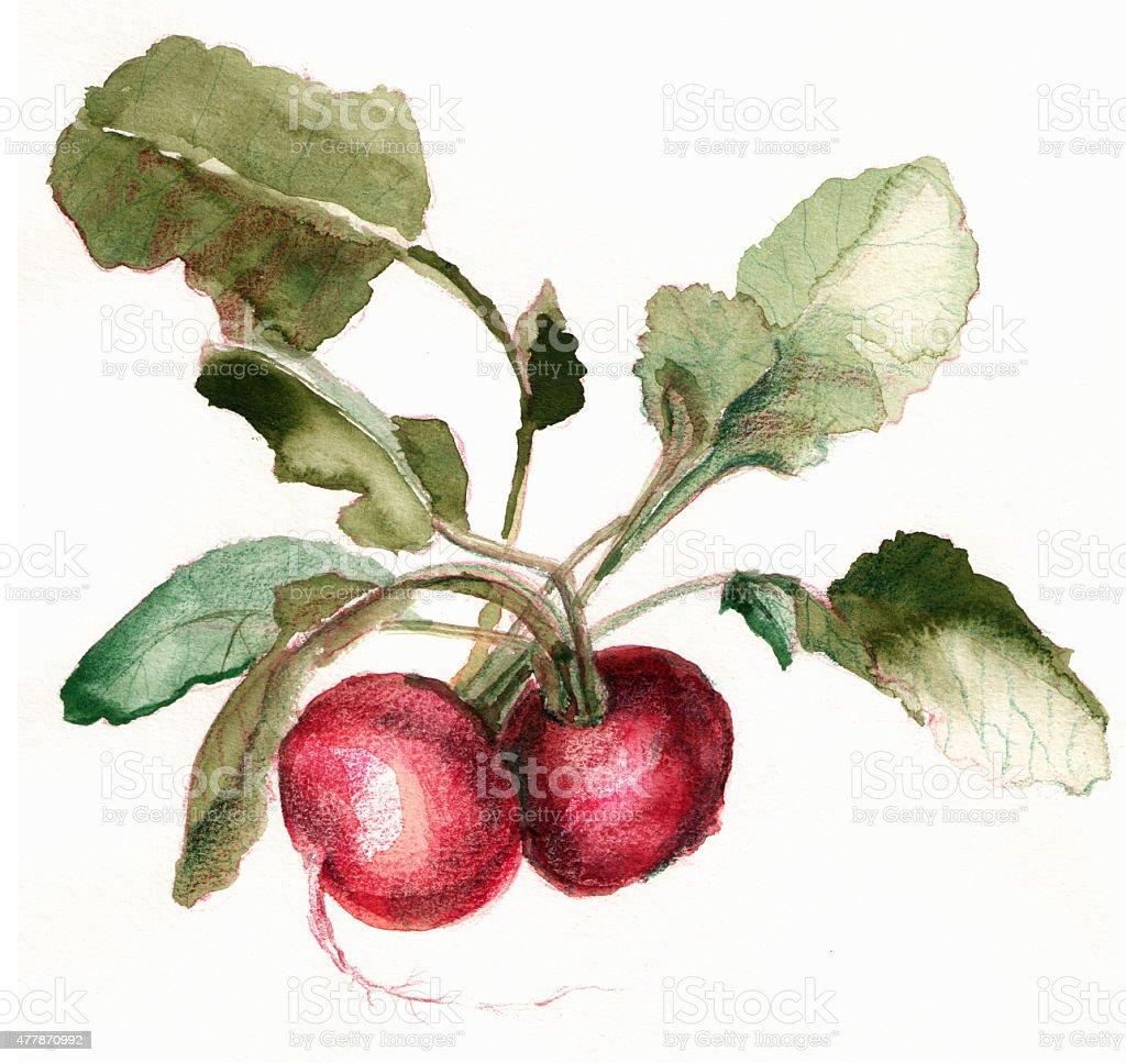 Hand painted illustration of radishes vector art illustration