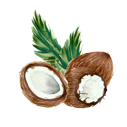 Hand painted watercolor coconuts, ripe sliced half, on green branches and leaves of coconut palm, food art isolated on white background and lettering for beautiful design. Lovely tropical fruits.