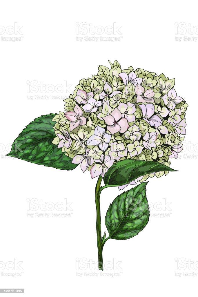 Ilustración De Dibujado A Mano De Phlox Gloriosa Flor Aislada Sobre ...