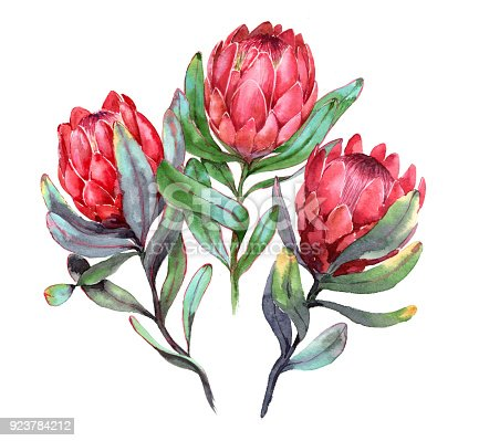 istock Hand-drawn watercolor illustration of three red protea flowers 923784212