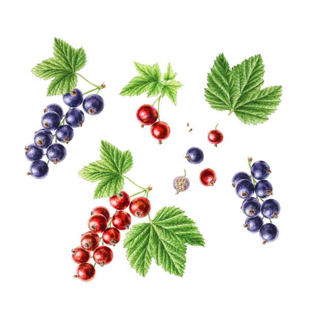 Hand-drawn watercolor set of berries. Redcurrant and Blackcurrant Hand-drawn watercolor set of berries. Redcurrant and Blackcurrant. black currant stock illustrations