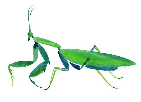 Handwork watercolor illustration of an insect praying mantis. Isolated in white background