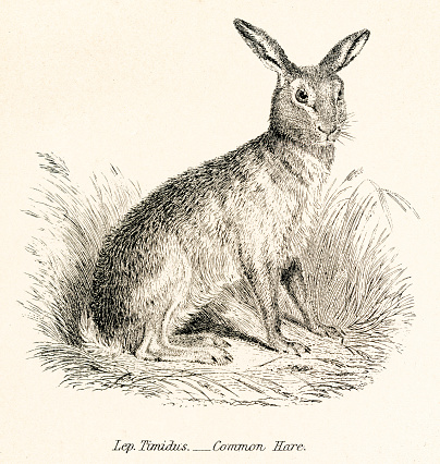 Hare engraving 1803
