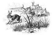 Hares and frogs - Scanned 1884 Engraving