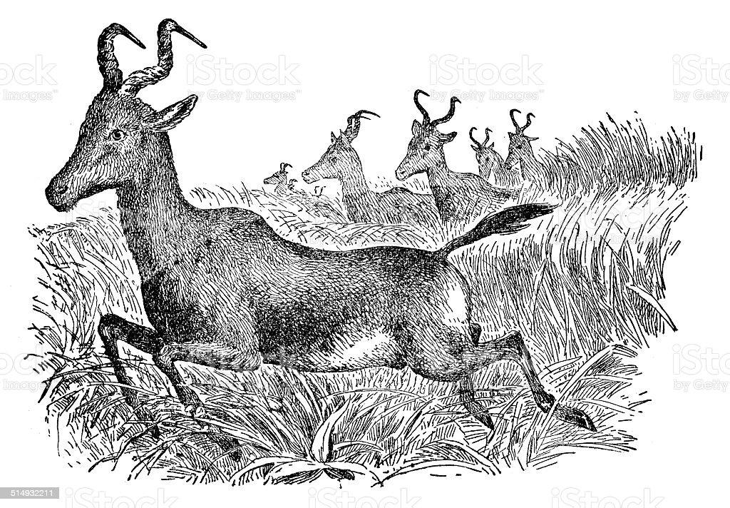 Hartebeest vector art illustration