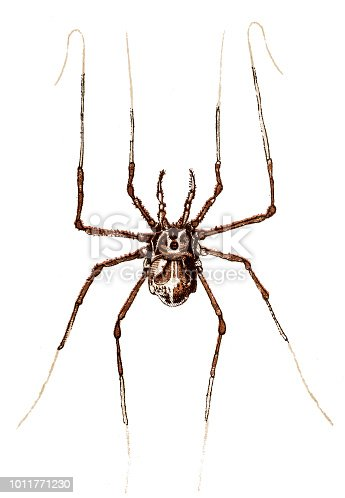 Illustration of a Harvestman (Phalangium opilio)
