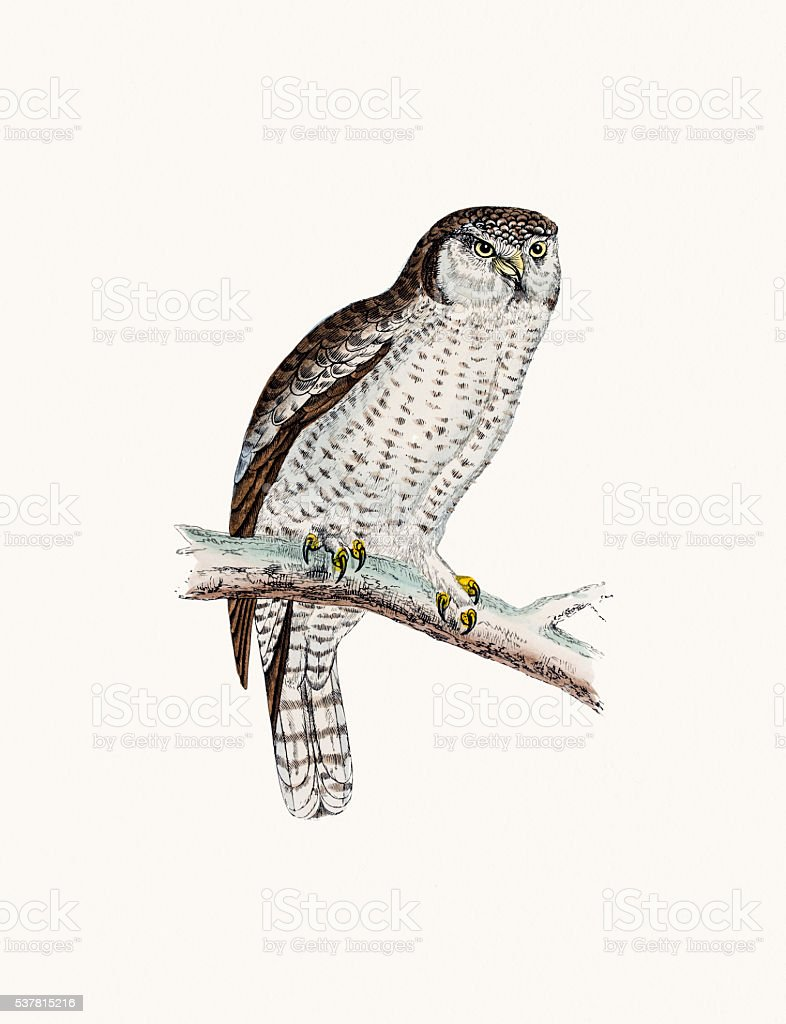 ホークミミズク鳥 イラストレーションのベクターアート素材や画像を