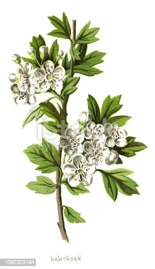 "Antique illustration of a Medicinal and Herbal Plants.  illustration was published in 1893 ""botanika i mineralogia atlas"