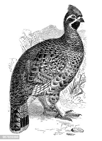 Illustration of a Hazel-grouse (Bonasa sylvestris)
