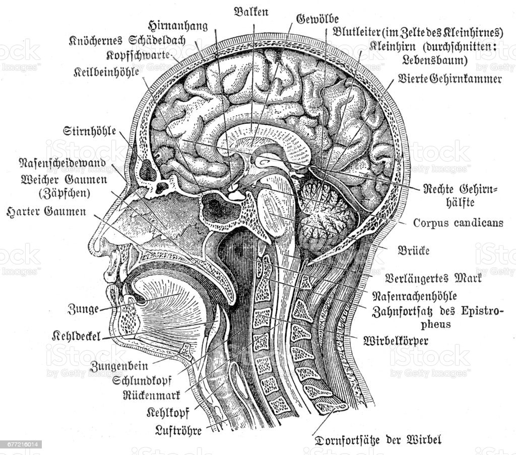 Head And Brain Anatomy Engraving 1857 Stock Vector Art & More Images ...