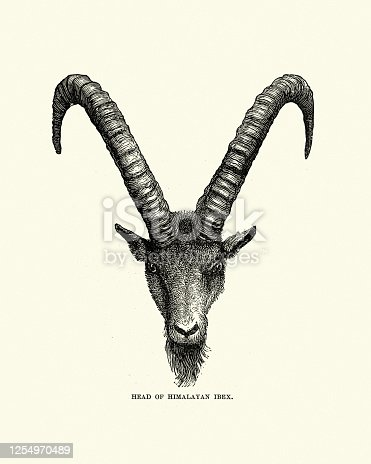 istock Head and horns of a himalayan ibex (Capra sibirica) 1254970489