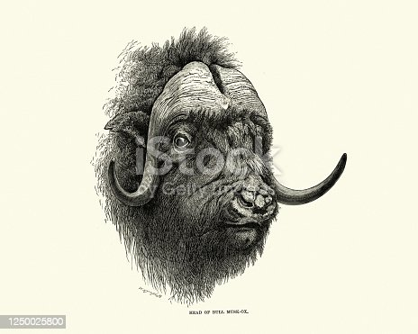 Vintage illustration of a Head of a bull Muskox (Ovibos moschatus), also spelled musk ox and musk-ox an Arctic hoofed mammal of the family Bovidae,[6] noted for its thick coat and for the strong odor emitted by males during the seasonal rut