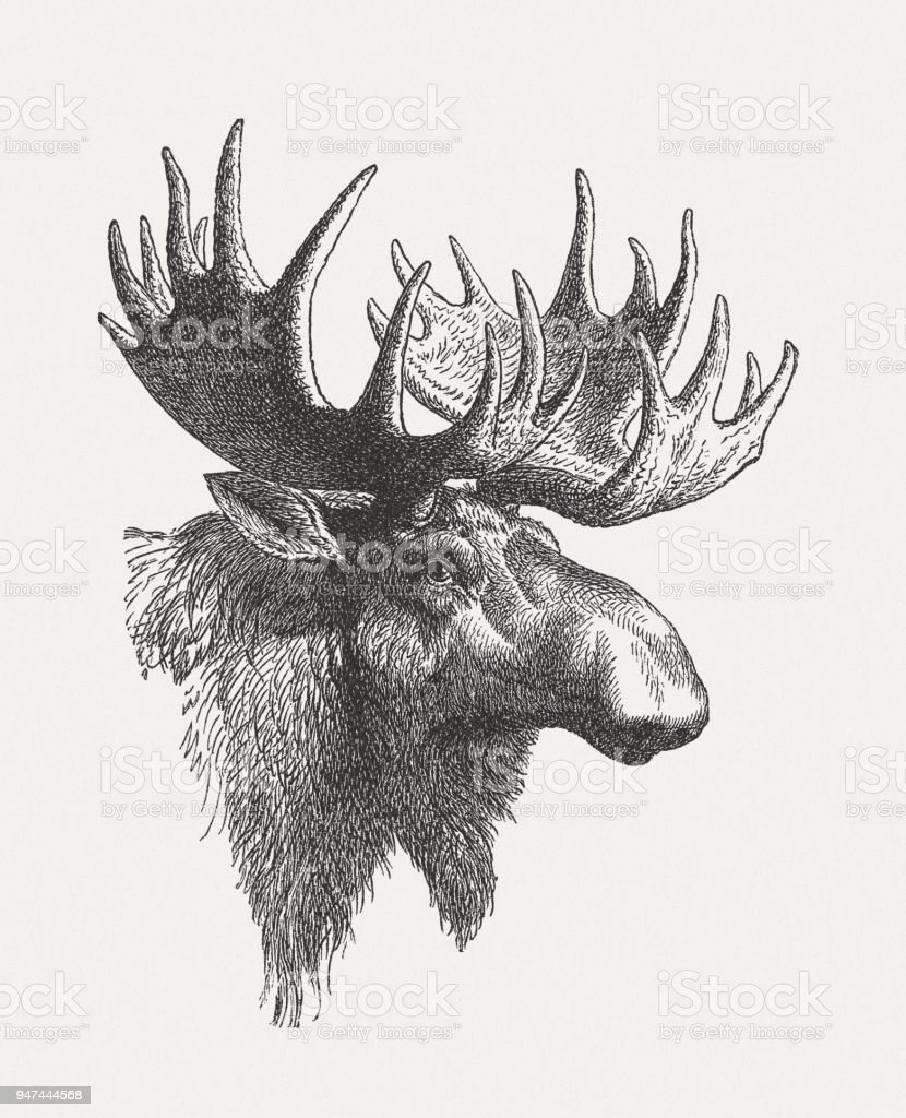 Head of a moose (Alces alces), wood engraving, published in 1897 vector art illustration