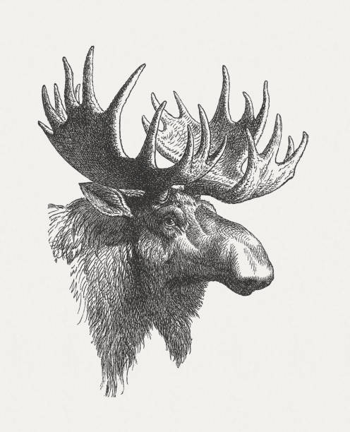 Head of a moose (Alces alces), wood engraving, published in 1897 Head of a moose (Alces alces). Wood engraving, published in 1897. elk stock illustrations