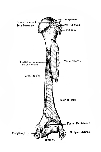 Head Of Humerus With Muscle Attachments Stock Illustration ...