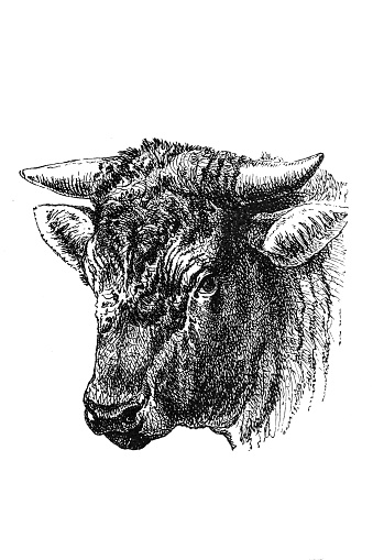 Antique illustration of head of the Dutch bull