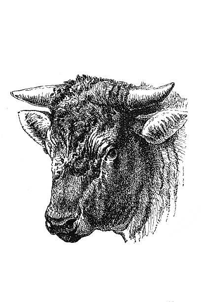 Head of the Dutch bull vector art illustration