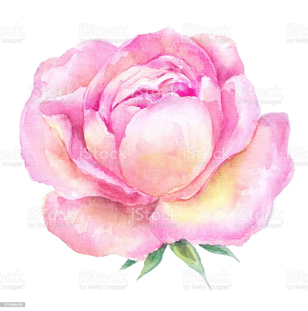 Head Pink Roses Watercolor Painting Open Flower On A White Royalty Free