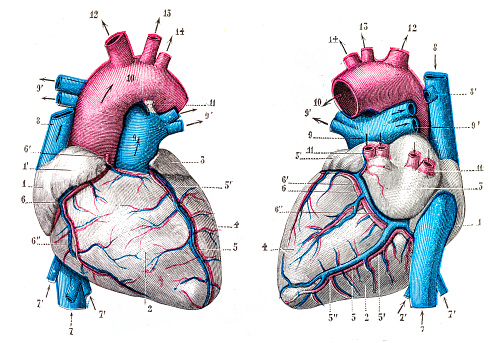 Heart stock illustrations