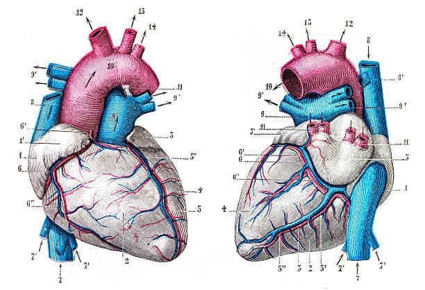 Heart stock illustrations