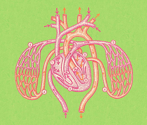 Heart and Arteries vector art illustration
