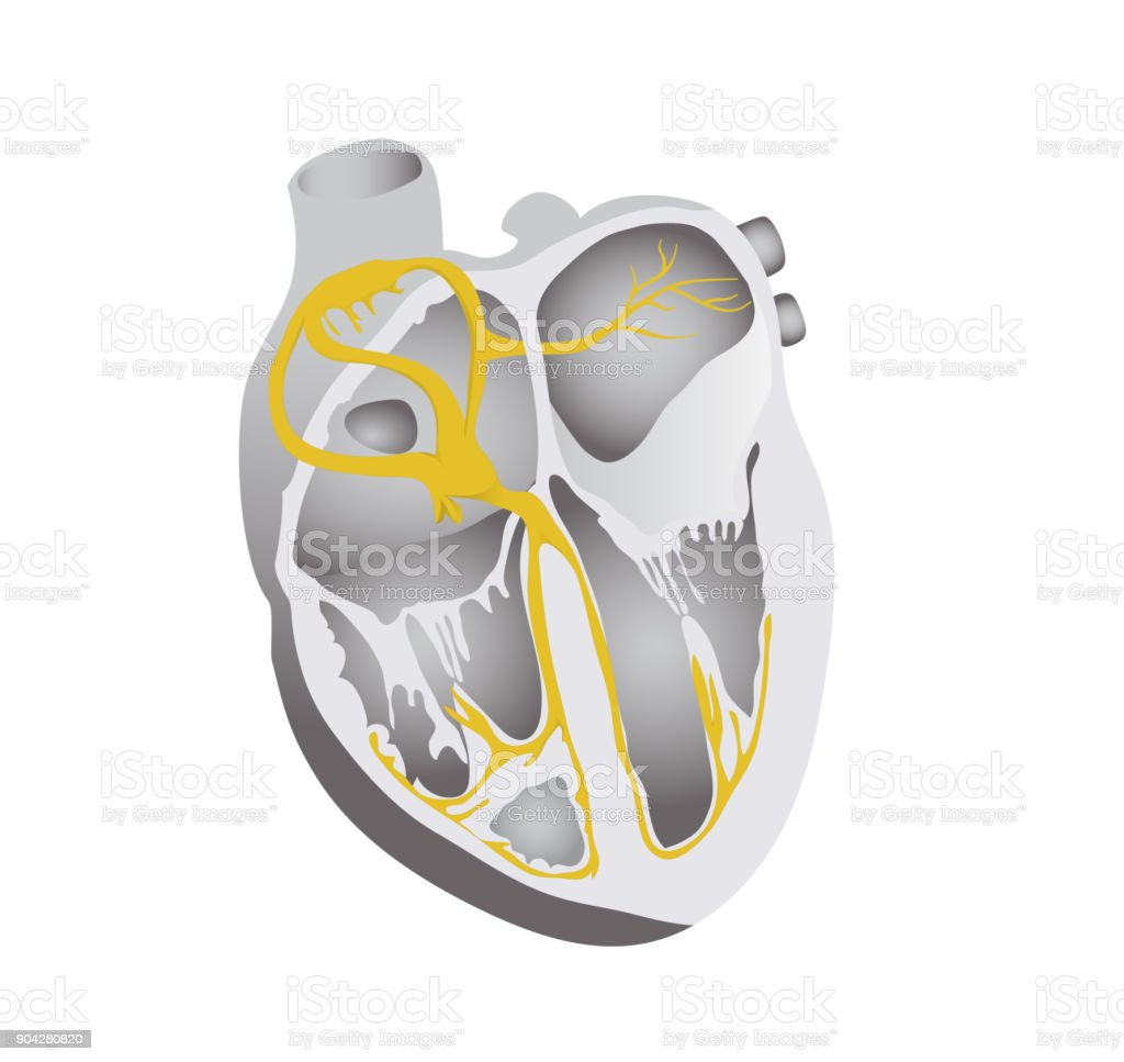 Heart Conduction System Human Heart Detailed Illustration Stock