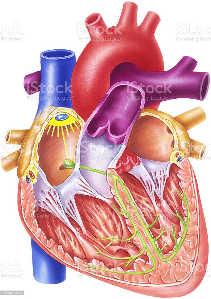 Heart - Conduction System royalty-free stock vector art