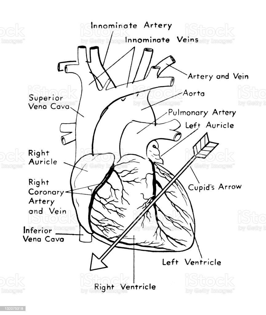 Herzdiagramm Mit Pfeil Stock Vektor Art und mehr Bilder von Anatomie ...