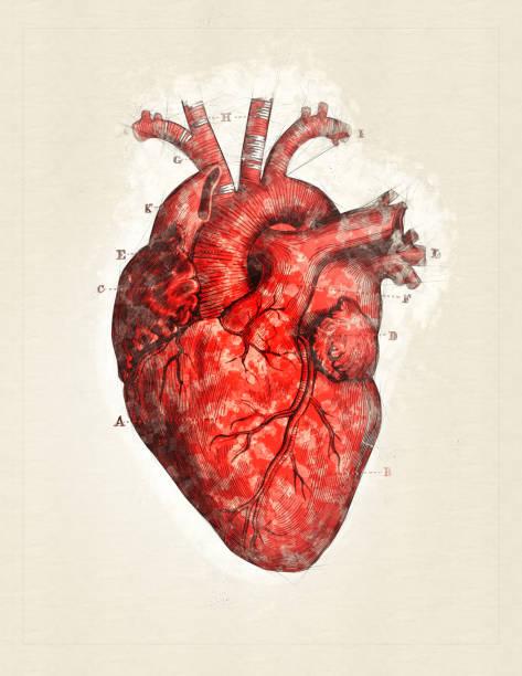 ilustrações de stock, clip art, desenhos animados e ícones de heart - mixed digital technique - coração humano