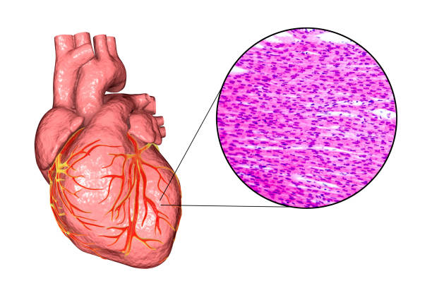 Top 60 Cardiac Muscle Tissue Clip Art, Vector Graphics and ...