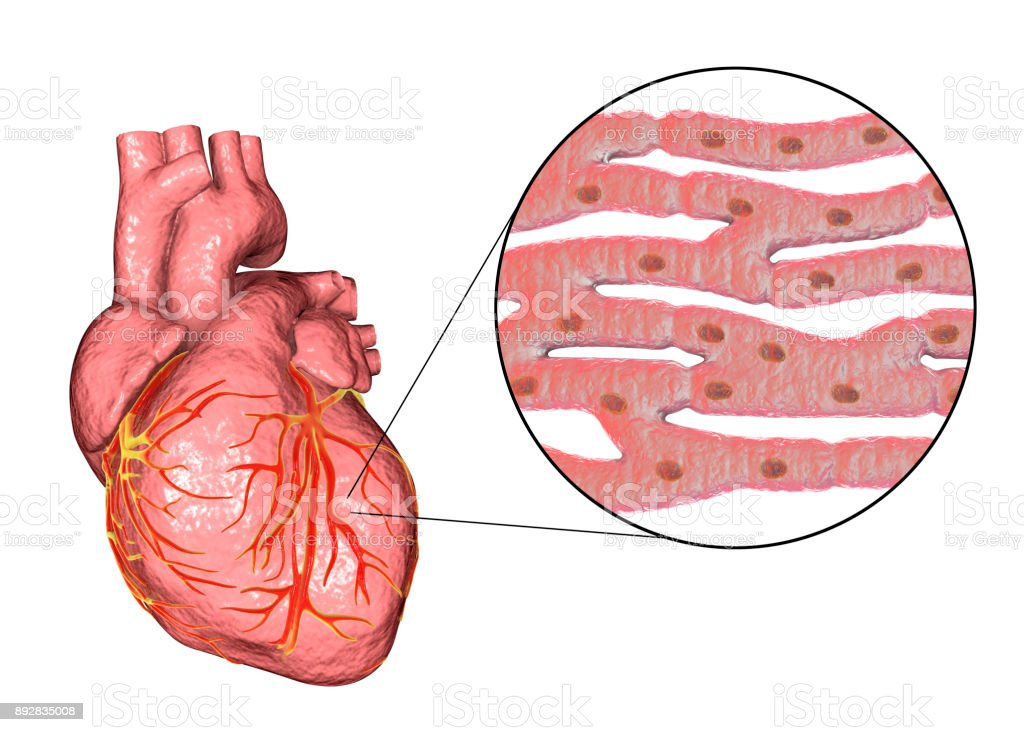 Heart Muscle Structure Stock Vector Art More Images Of Anatomical