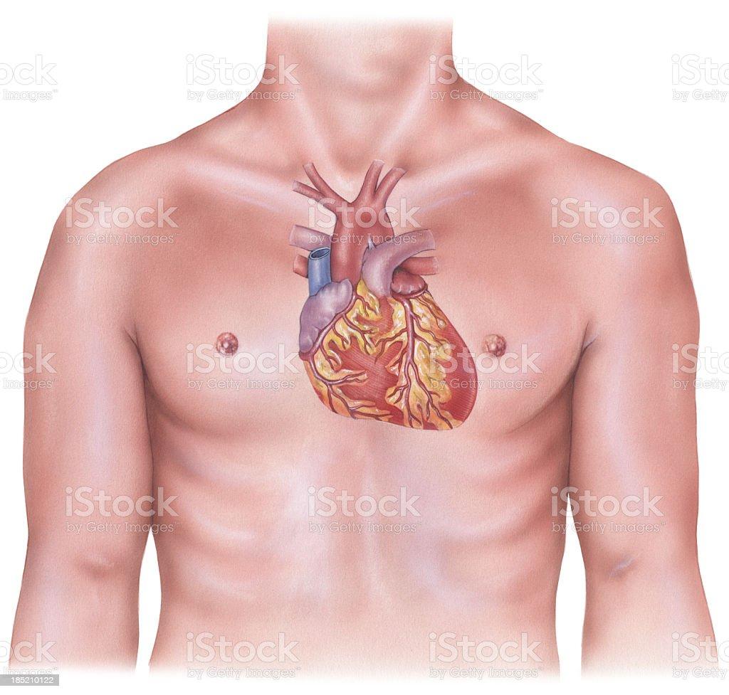 Heart - Overlaid on Male Torso royalty-free stock vector art