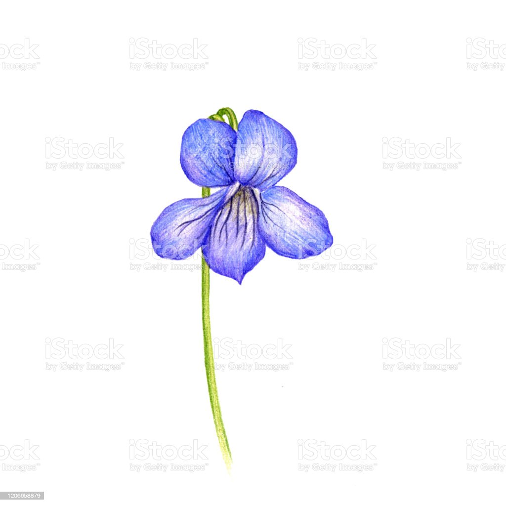 Heath Violet Flower Drawing By Colored Pencils Stock Illustration Download Image Now Istock