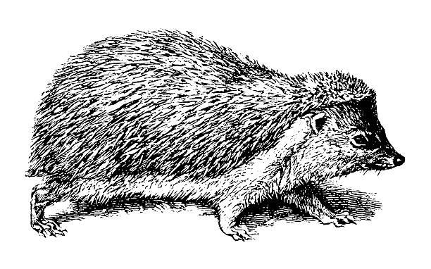 Hedgehog Old engraving of a hedgehog, isolated on white. Scanned at 600 DPI with very high resolution. Published in Systematischer Bilder-Atlas zum Conversations-Lexikon, Ikonographische Encyklopaedie der Wissenschaften und Kuenste (Brockhaus, Leipzig) in 1844. Photo by N.Staykov (2008). . hedgehog stock illustrations