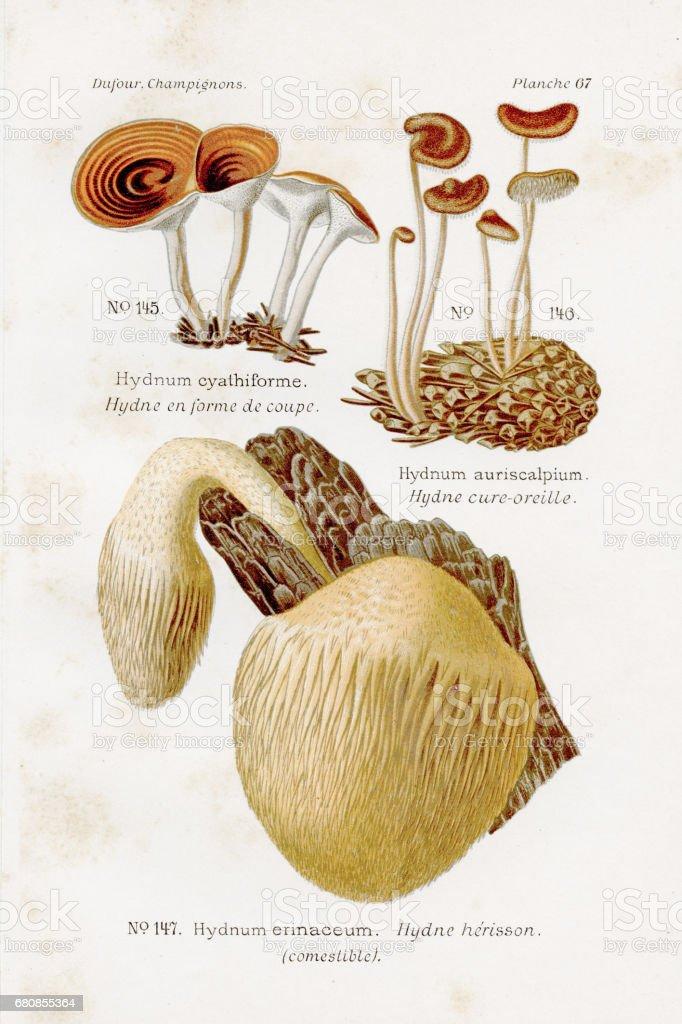 Hedgehog mushroom 1891 royalty-free hedgehog mushroom 1891 stock vector art & more images of antique